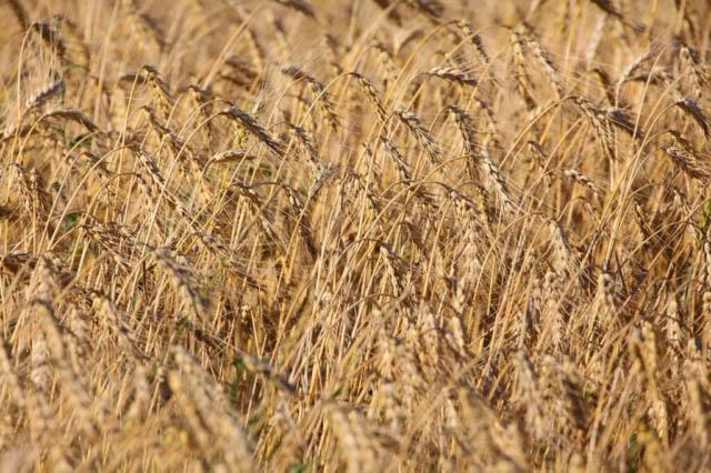 Wheat Field Background Photo